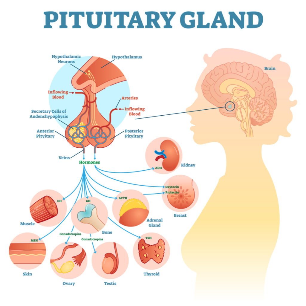 Pituitary-Gland-Function